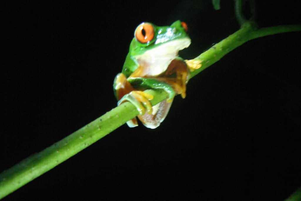 Red eyed Tree frog commonly seen at Yax'che jungle camp