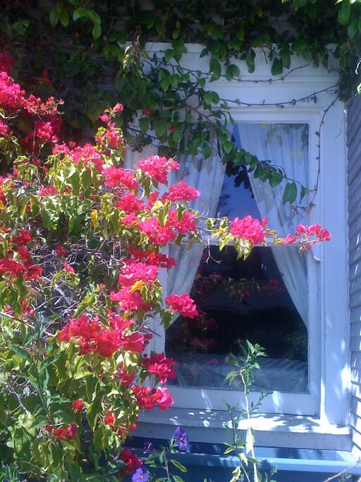 Bougainvillea in bloom over windows