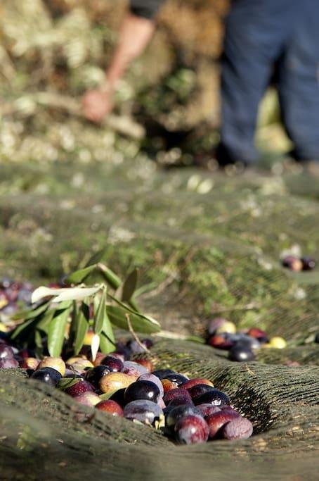 Estoublon : Le pays de l'olivier