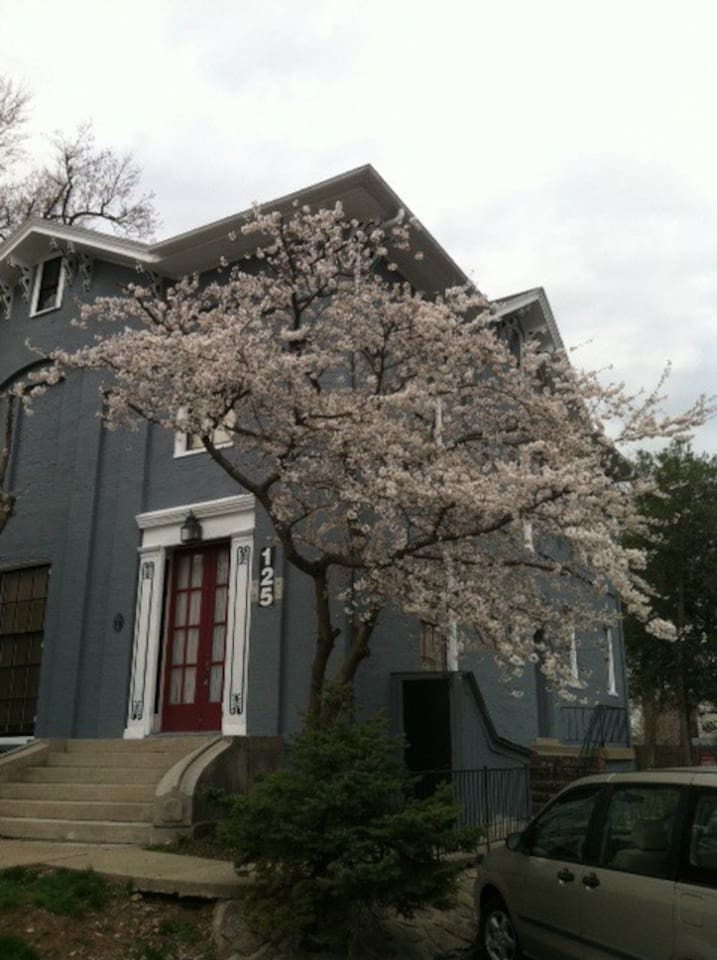 The Cherry trees are beautiful in the spring!