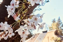 Cherry blossoms in April 2019.
