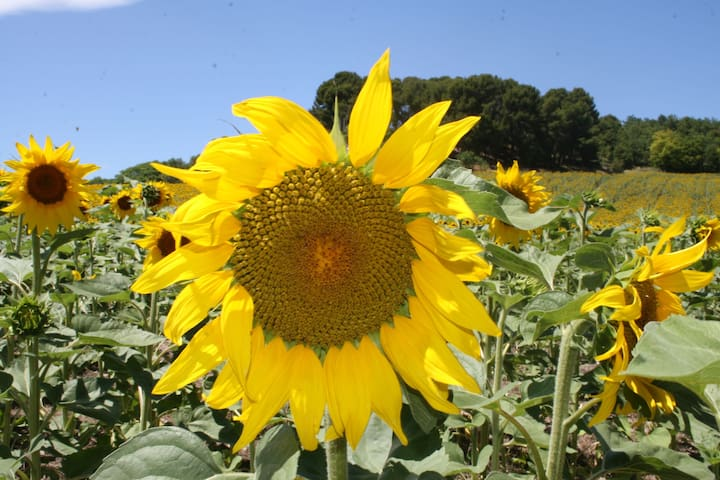 Day trip to the Provence sunflower fields
