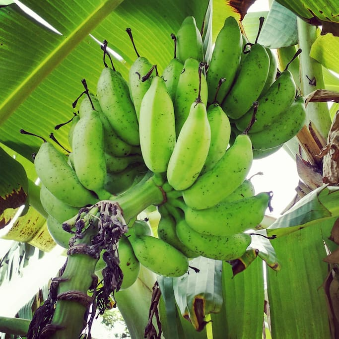 Plantains in the backyard. Feel free to pick if they are ripe! Yummy!