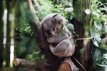 1 hour & 5 minutes  by car: Cute and friendly Koala sleeping away at the Koala Conservation Center so you can take photos like this to show back home.