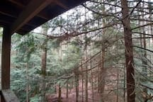 Blue Spruce Forest View