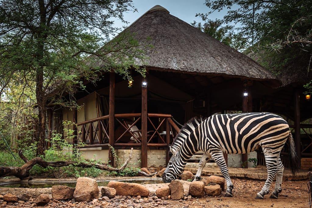 Zebra drinking at Thonningii