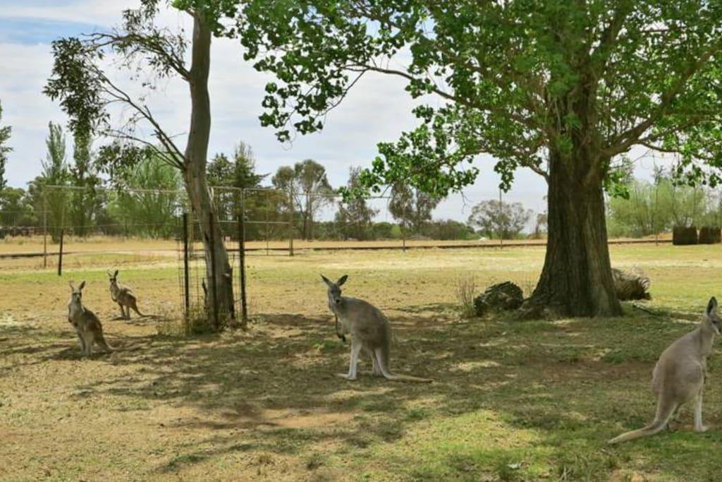 Kangaroos roaming free within our 3 acre zoo!