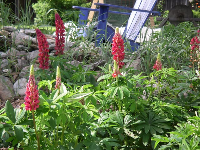 Lupines...
