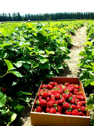 One of our local, you pick, berry farms.