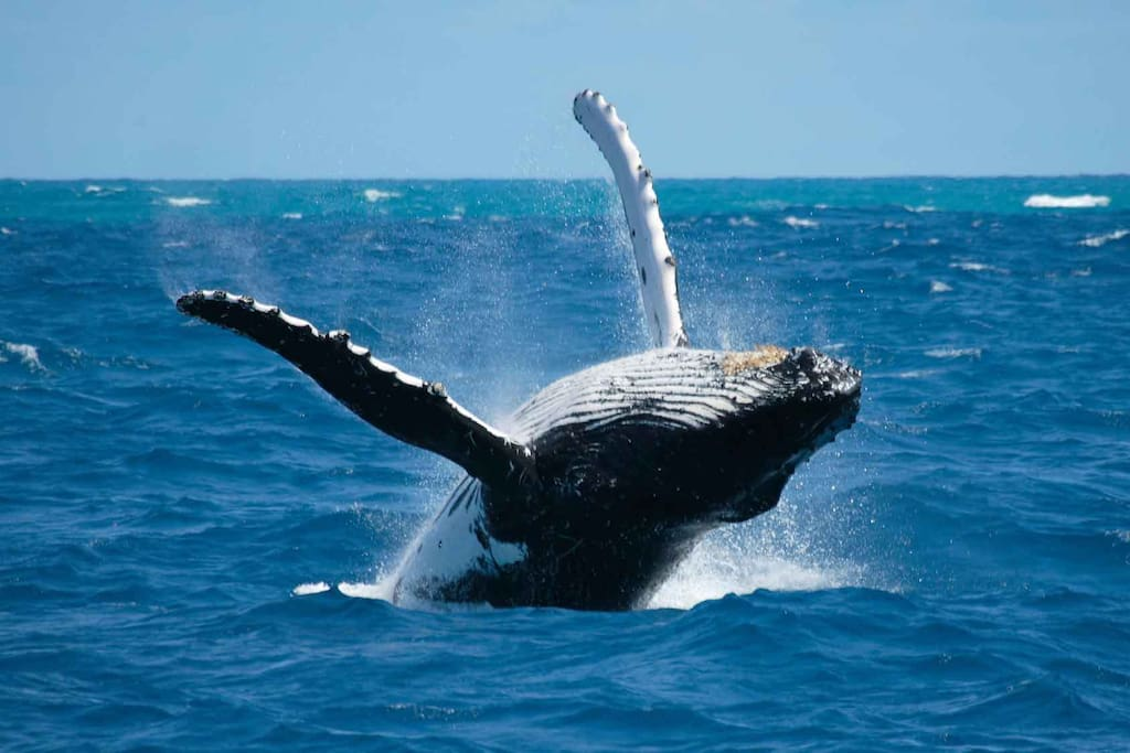 whales - 1st attraction in Samana   Bay