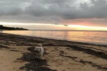 Our puppy Wilson enjoying an evening run on the beach!