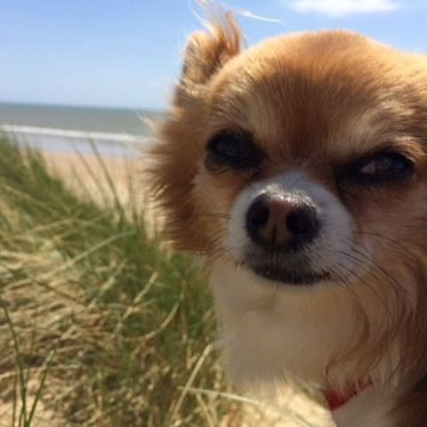 Chilled out Charlie the chihuahua