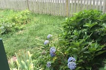 Hydrangeas and tomatoes growing.