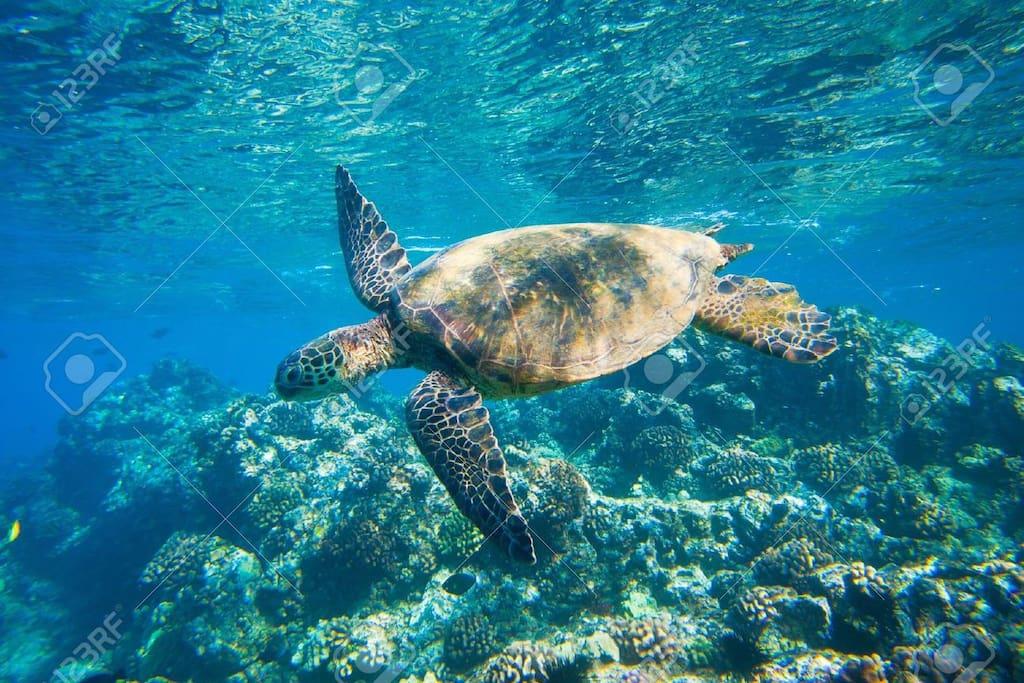 swimming turtle at Ho'okipa beach, a 4 min. drive