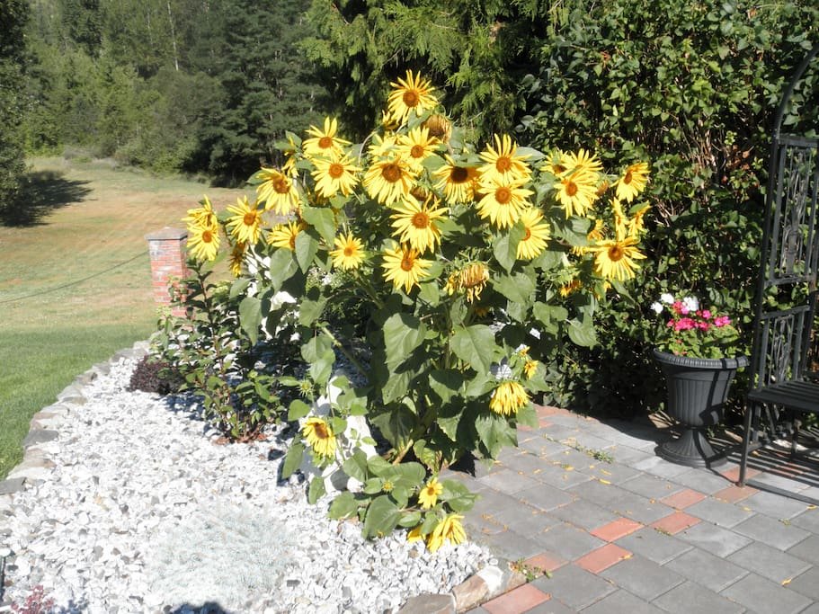 Sunflowers are often the Highlight of our Summer Garden.