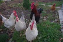 Unsere Hühner (50 m vom Haus)
