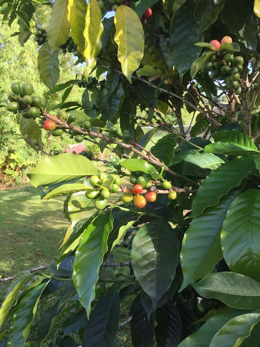 Coffee plant and fruit near December.