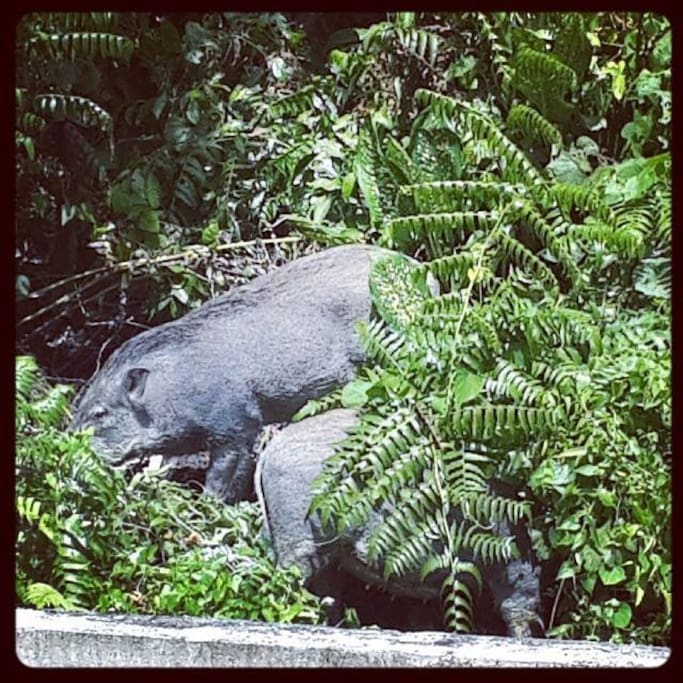 The wild boars can also be visible from the home's balcony.