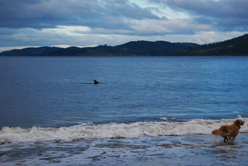 Dolphin in the waters of Kingston Beach
