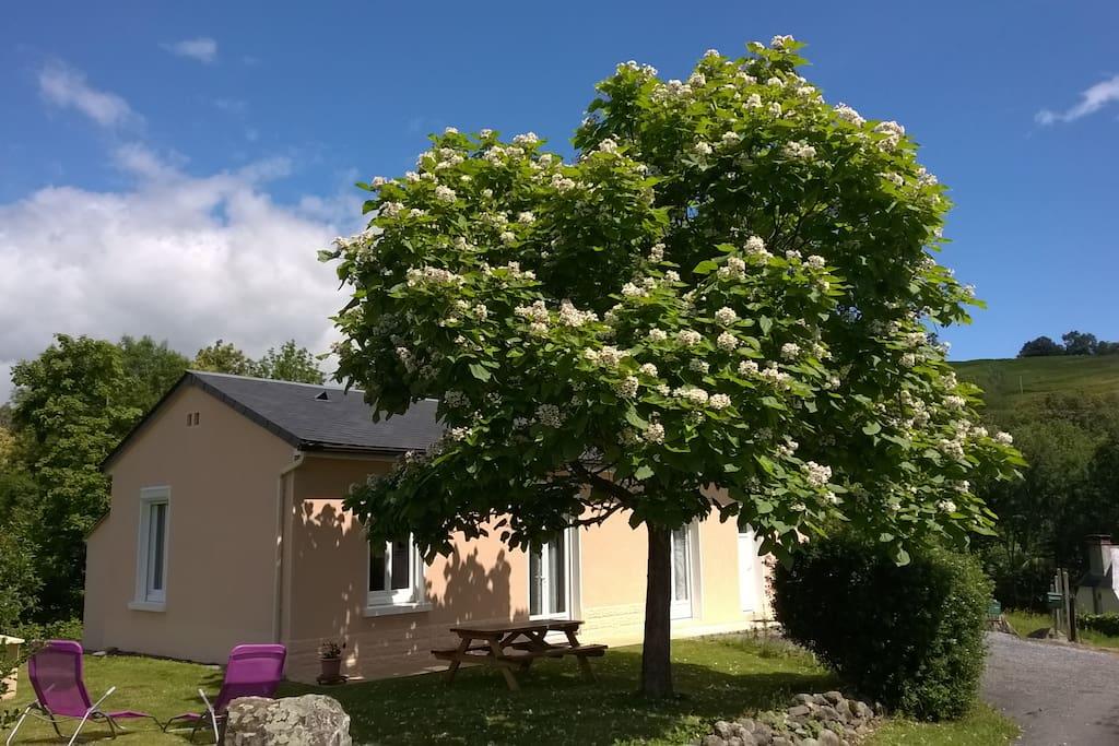 L'arbre est un beau parasol , fleuri en juillet!