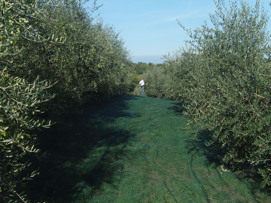 l'oliveto durante la raccolta
