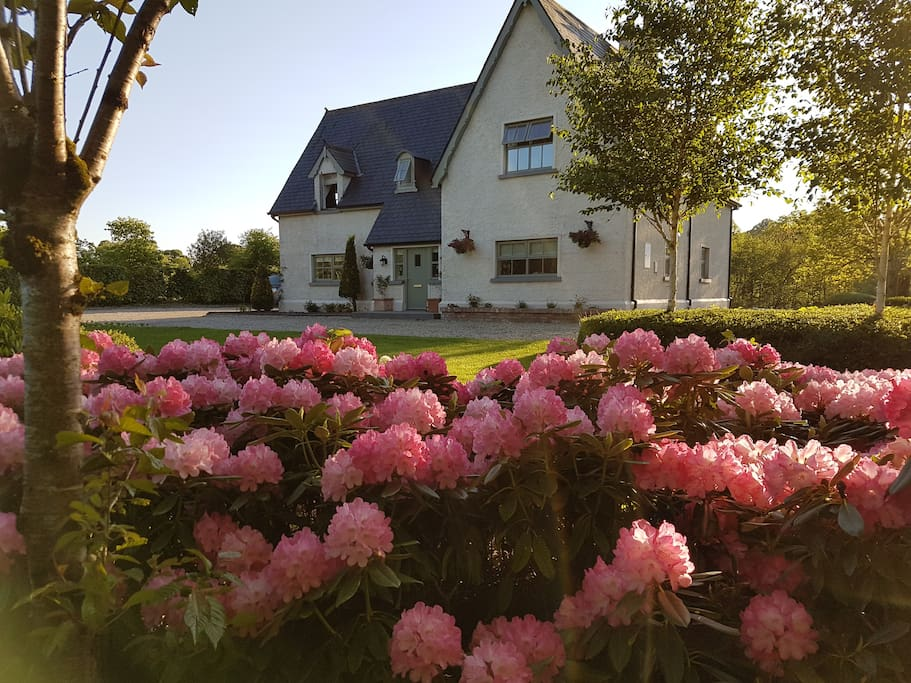 River Cottage rhododendron in full bloom during Spring