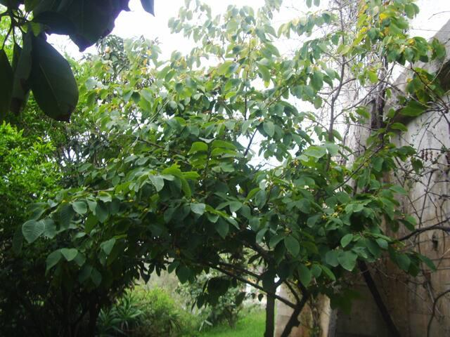 Chirimoya-fruittree