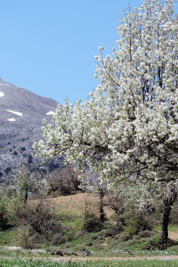 Fruit blossom and snow in March