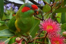 "Musk Lorikeets-wild ones and our rescued ""Pearl""."