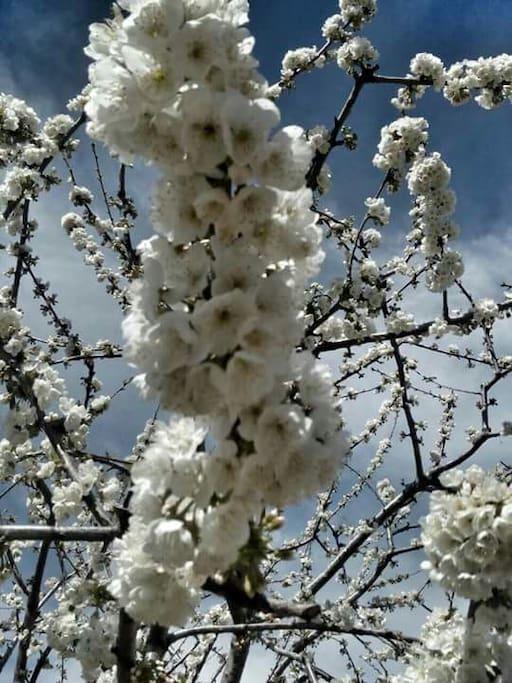 vistas des de la casa a los cerezos en flor