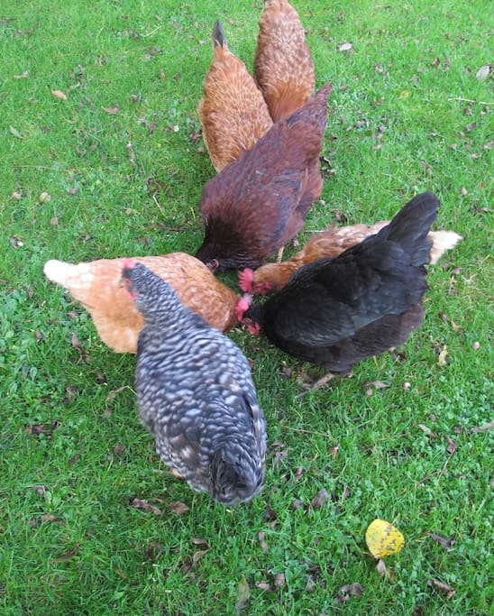 See the hens -have organic eggs for breakfast