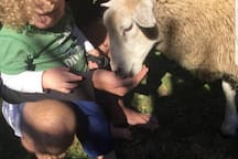 Guests feeding our pet sheep.