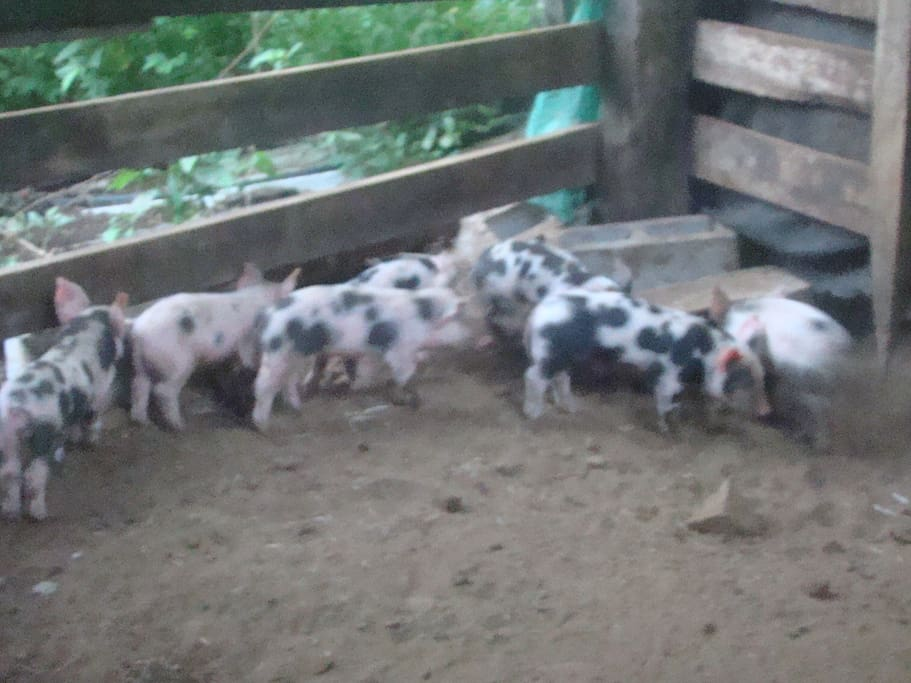 piglets in our ranch!