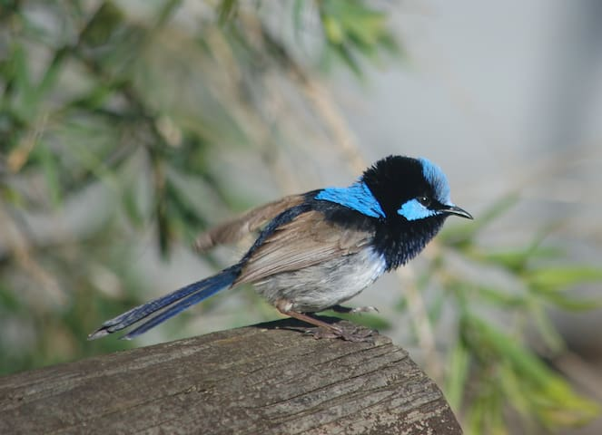 Superb Fairy (aka Blue) Wren - often seen in the bushes and trees nearby