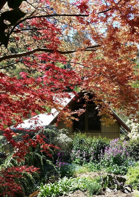 Crozier Cottage - Our beautiful Japanese maple, Acer palmatum 'Nicholsonii' which has red leaves in Spring