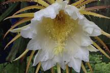 Maypop flower make way for a dragon fruit...