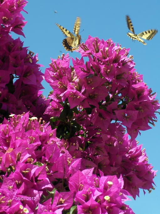 Our bougainvillias attract a lot of butterflies