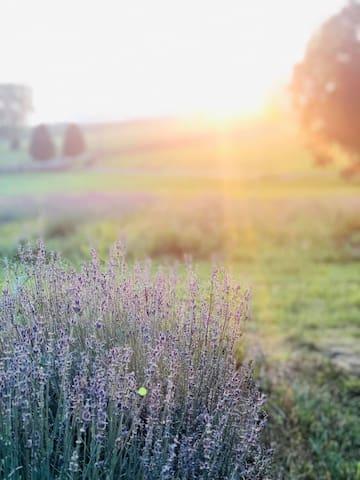 Our blooming lavender field -June thru September