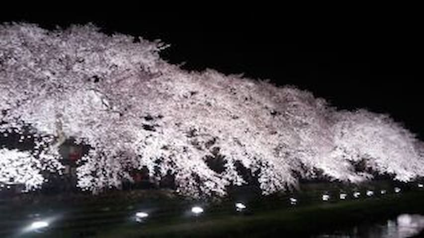 野川公園の桜。一日限りのライトアップ(3月末~4月初旬) Cherry Blossom It lights up for only 3 hours on the day of full bloom. It is only once.