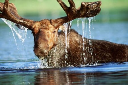 Swimming Moose-Private Lake-Great Fishing