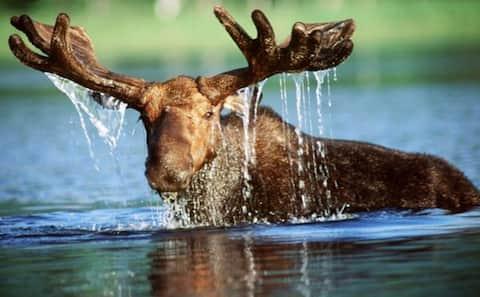 Swimming Moose-Private Lake-Great Fishing