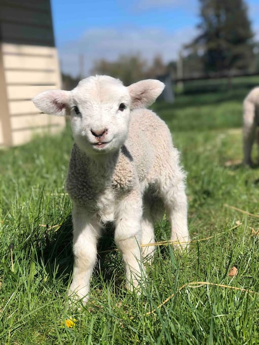 Meet Billy, one of the many pet lambs at Clayton Station.