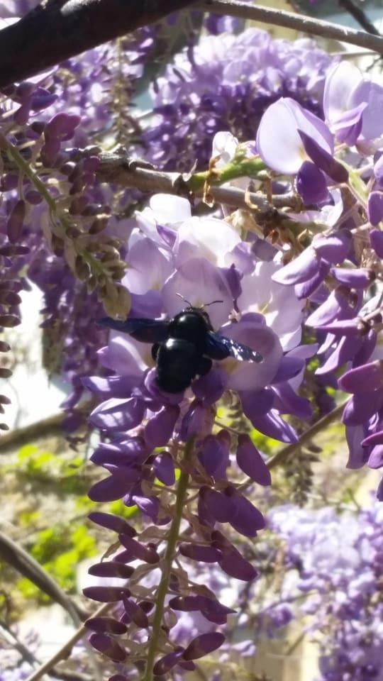 La glycine émerveille tous les passants au début du printemps, son parfum est sublime et les bourdons s'en régalent.