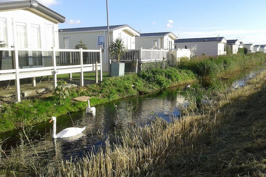 Resident family of swans