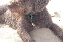 our dearest Spanish water dog, Gio