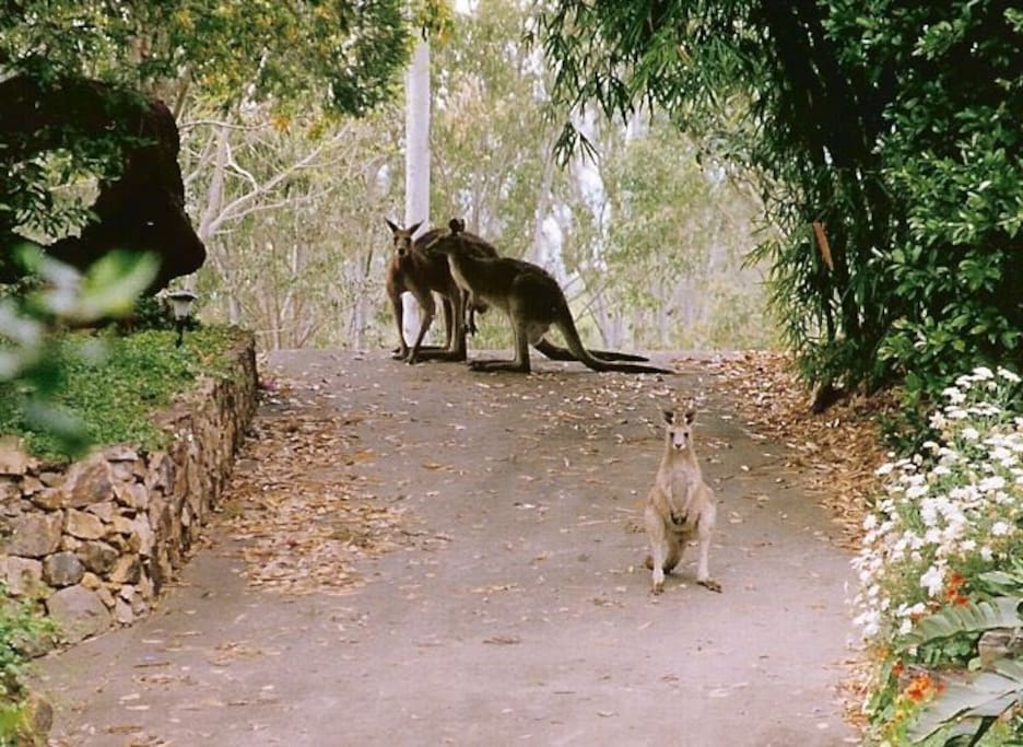 Roos in our drive way