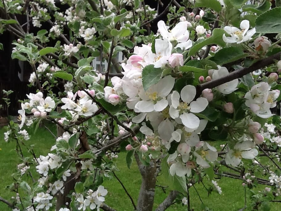 Outside garden with apple tree flowers