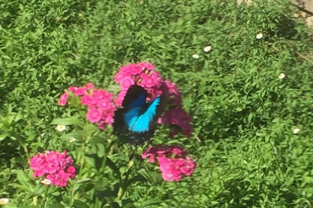 An Ulysses butterfly visits