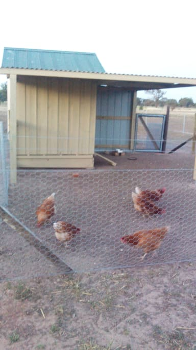 Our girls provide free range eggs for guests breakfasts.