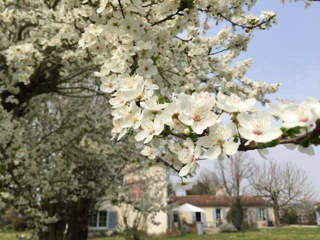 Les pruniers en fleurs au printemps